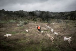 Luis Parreira collecting his dogs after a hunting day. © Antonio Pedrosa