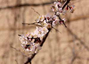 Apricots Blossoms - Springtime - Kazakhstan