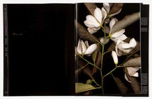 spread198  Magnolia (Magnolia)From the book, joSon Intimate Portraits of Nature