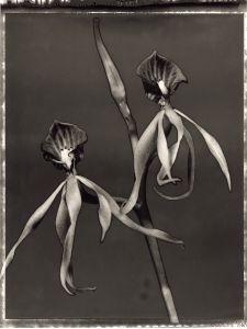 27 Encyclia cochleata © Frazier King