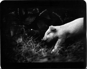 """""""Untitled"""" (Pig), 2008 © Giacomo Brunelli"""