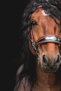Noriker draft horse Nikon