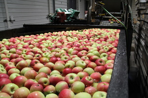 Apple bath to conveyor belt for selection.