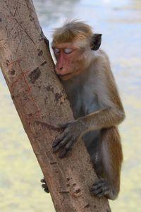 Monkey in Sri Lanka