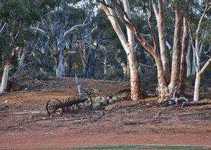 Salmon Gums and scarifier.