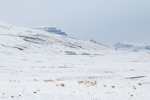 Reindeers, Saqqaq