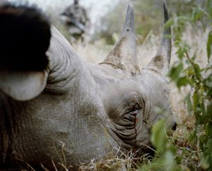 rhino # I, killed by poachers, lewa conservancy, northern kenya-from the series 'with butterflies and warriors'-David Chancellor