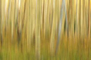 Aspen Trees, Late Summer