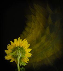 Ethereality - Sunflower Back