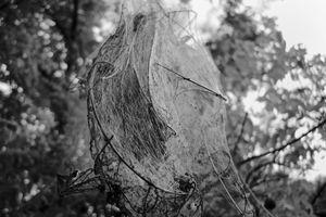 Tent Caterpillar Web #5