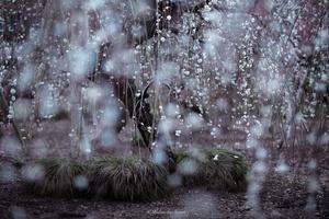 Rain of weeping plum