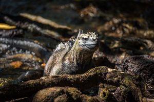 Marine iguana among roots staring at camera