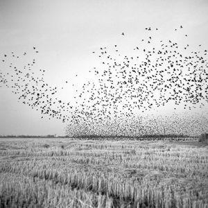 Birds in Field, Mound Bayou, MS 2010