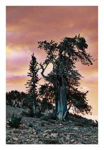 Ancient Bristlecone Pine, Schulman Grove