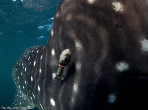 A satellite tag applied by the dorsal fin of a whaleshark. Satellite tagging is a key part of reaserch to understand movement of whale sharks and eventually protect key aggregation areas.