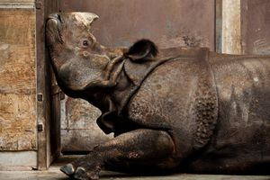 Indian Rhino, Canadian Winter. An Indian rhinoceros, far from home and stuck inside with late-winter blues at the Toronto zoo.<br>Honorable Mention Nature © Stephen De Lisle/National Geographic Photo Contest