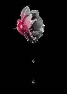 tears of rose