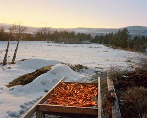 Carrots, Hotchkiss, Colorado, 2015