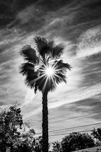 Solitary Palm