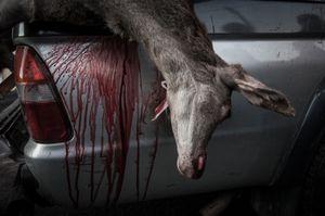 Hunted deer. © Antonio Pedrosa