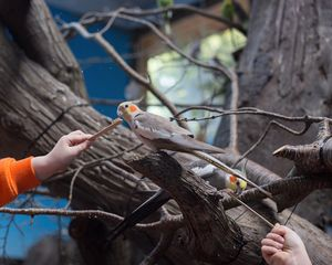 Cockatiels; Woodland Park Zoo, Seattle