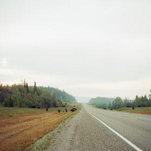 Bison, Alaska Highway.