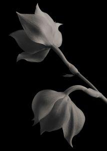 Ianclarkara Orchids