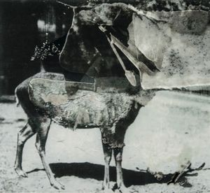 Schomburgk's Deer