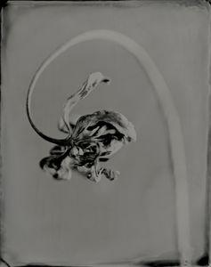 Tulipa Conflexus