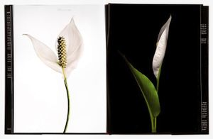 spread192, Peace Lily (Spathiphyllum cochlearispathum),  From the book, joSon Intimate Portraits of Nature