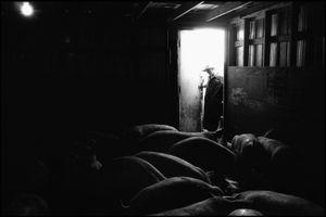 © George Webber - Loading hogs, 2000
