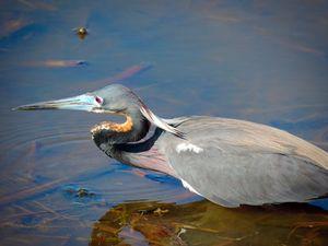 Tri- Colored Heron