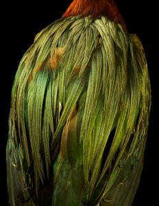 Algae gramine