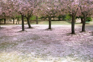 Sakura carpet