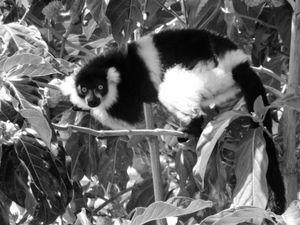 Lemur at Camp Catta 1