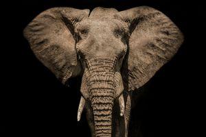 Portrait of African Elephant