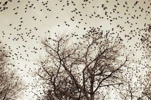 Startling Starlings © Hugues Alary, United States