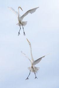 Egret Clash