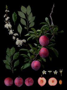 Prunus salicinca Lindl. 'Shiho'