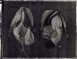 44 Phragmipedium and Paphiopedilum delophyllum. © Frazier King