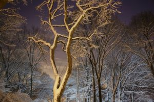 Night Trees of New York: Central Park Snow