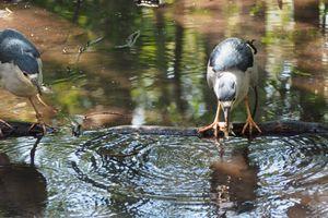 Black-crowned Night Heron Pair