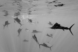 2nd Prize Nature Single © Reinhard Dirscherl, Germany  Atlantic sailfish attack Spanish sardines, off Yucatan Peninsula, Mexico