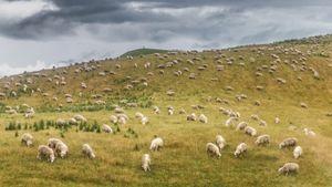 Land of Lambs