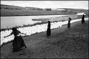 © George Webber - Herding ducks, 2000