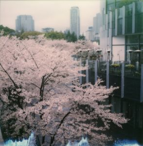 Tokyo Cherry Blossoms 9