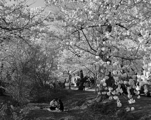 Cherry Blossom Picnickers