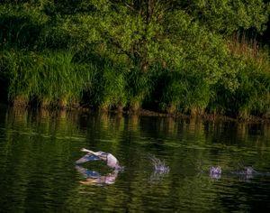 swan and Rhone River