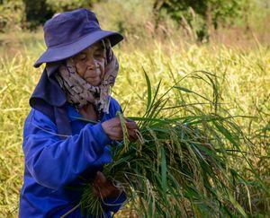 Rice harvest.