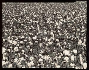 © Radek Skrivanek, Cotton field, near Turkestan